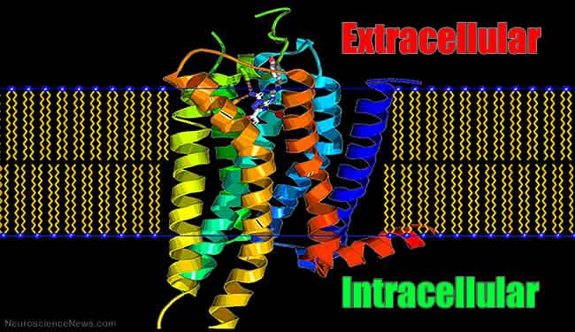 a2a-adenosine-receptor-image.jpg