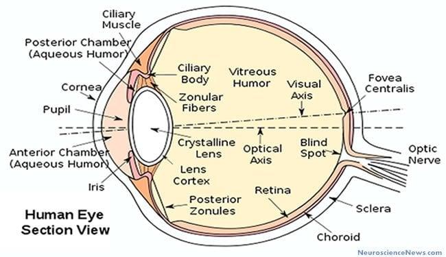 human eye diagram public jpg draw a well labelled diagram of the eye diagram 650 x 375