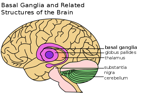 Brain image with the basal ganglia and other brain areas.