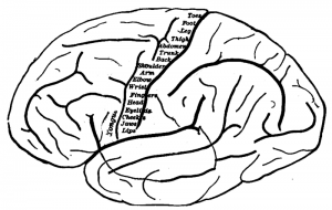 The image is a topography of the primary motor cortex, on an outline drawing of the human brain. Different body parts are listed in this area.