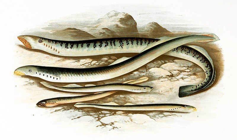 The image shows pencil drawings of sea lampreys by Alexander Francis Lydon.