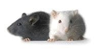 The image shows two knock out mice.