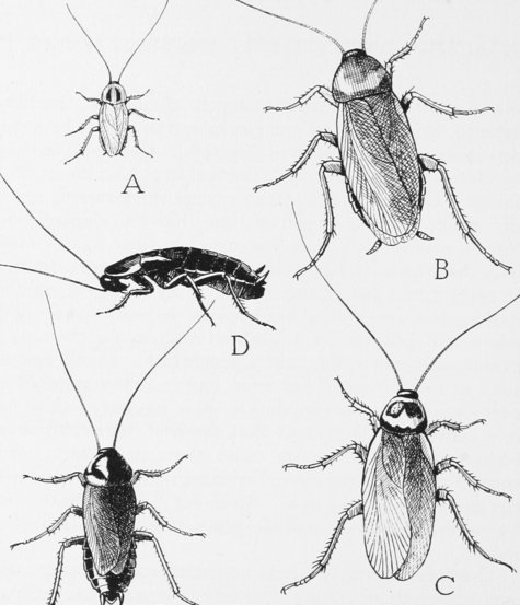 The image shows pencil drawings of common household roaches.
