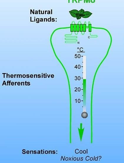 The image shows the thermosensitve afferents of TRPM8.