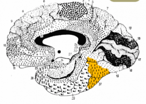 The brain diagram shown highlights the  fusiform gyrus (Brodmann area 37), which is associated with FFA.