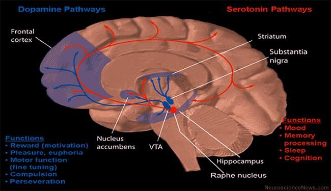 The image shows a diagram of the brain with specific regions of the dopamine and serotonin pathways mapped out.