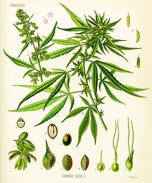 This is a drawing of the cannabis sativa plant