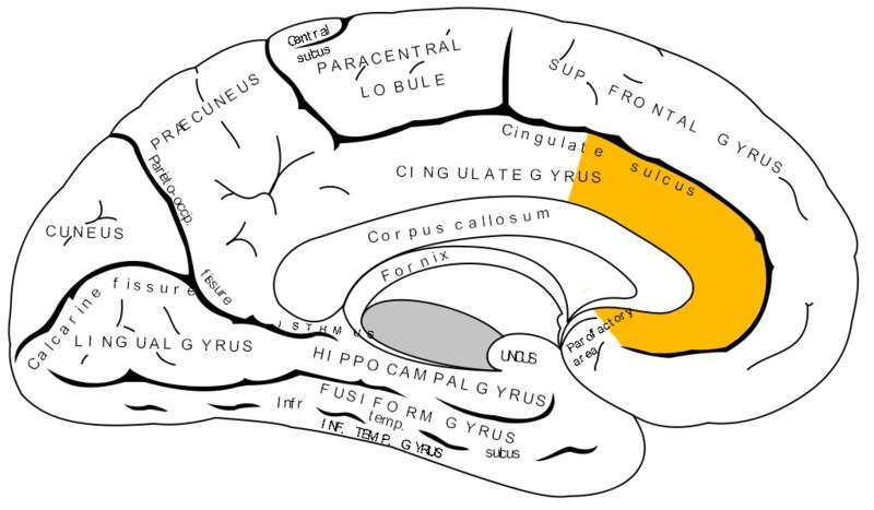 The brain diagram has the anterior cingulate cortex highlighted in yellow.
