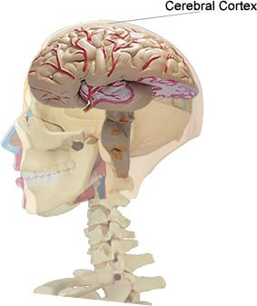 The image shows the location of the cerebral cortex.