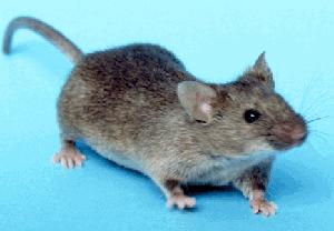 This is an image of a mouse.
