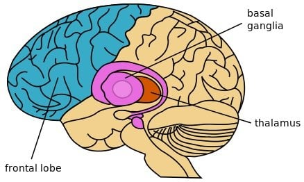 The diagram of the brain shown highlights the thalamus locato