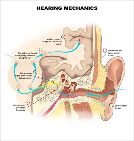 This is a diagram of the auditory system.