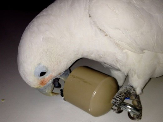 This is an image of a cockatoo lifting a container.