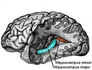 This diagram shows the location of the hippocampus in the brain.