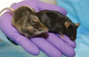 This photo shows two lab mice in a researcher's hand.