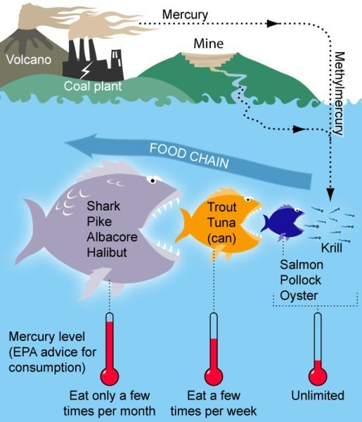 This figure shows some common sources of mercury, the conversion to toxic methylmercury and the outline of EPA consumption recommendations for certain types of fish based on mercury levels.