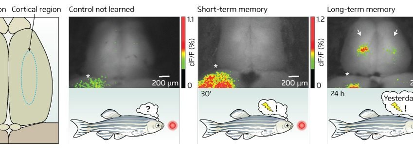 The image shows the neural activity over time in the zebrafish.