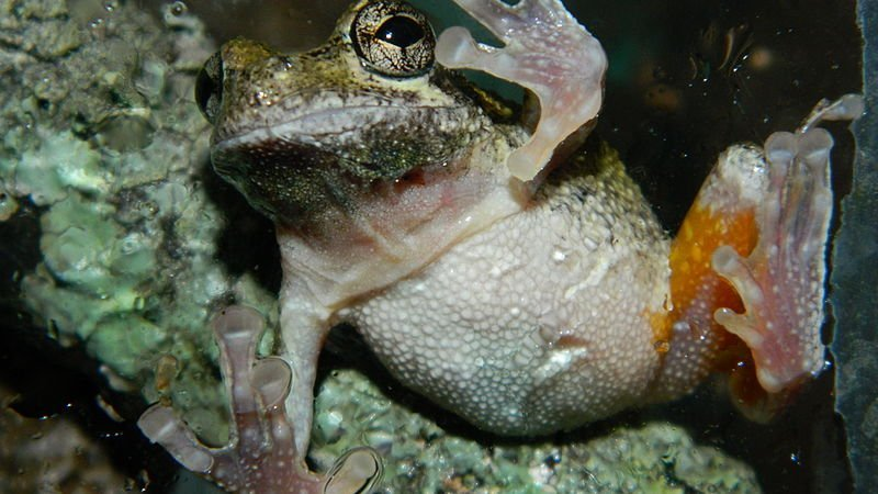 This image shows a male Hyla chrysoscelis frog.