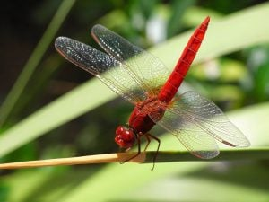 This image shows a Crocothemis erythraea dragonfly.