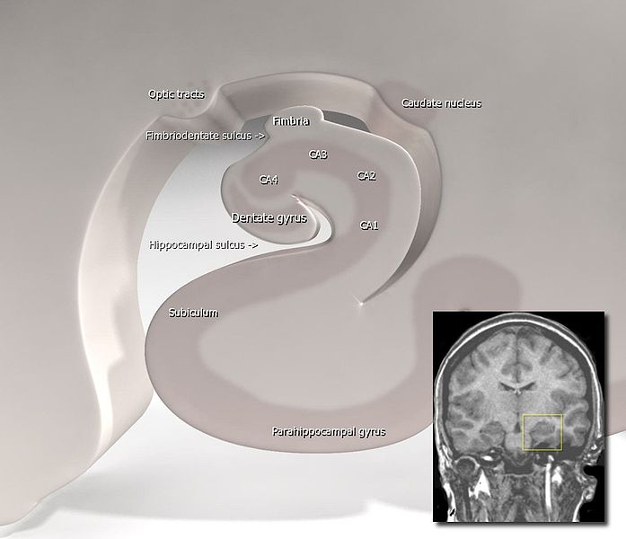 This image is a stylized diagram of the hippocampus. The parahippocampal gyrus labeled at bottom center.