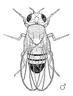 This is an illustration of a male Drosophila melanogaster.