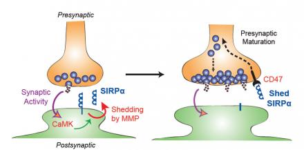 This diagram shows how synaptic transmission works. The caption best describes the image.