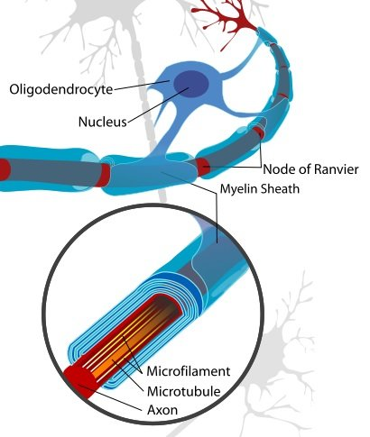 This image is a neuron cell diagram, cropped to show oligodendrocyte and myelin sheath.
