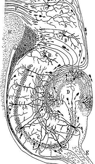 This is a drawing of the neural circuitry of the rodent hippocampus.