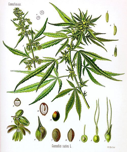 The illustration is of the cannabis sativa plant.