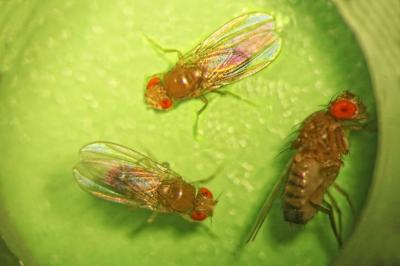 The image shows Drosophila flies.