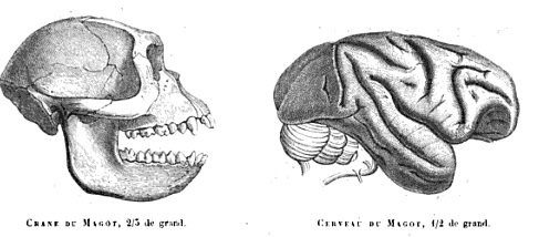 This image shows a Barbary macaque skull and brain.