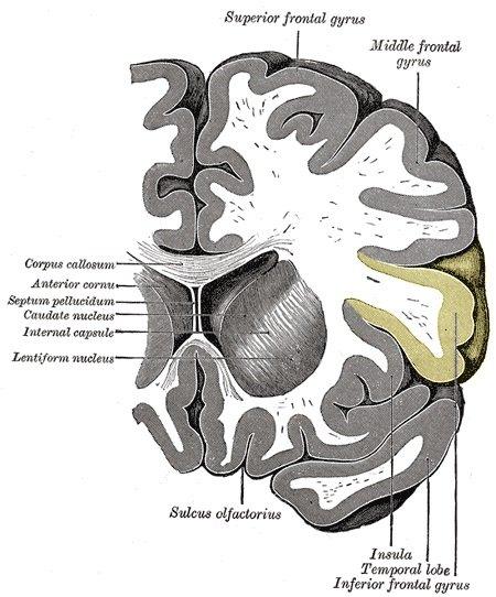 The inferior frontal gyrus is highlighted in yellow in this image.