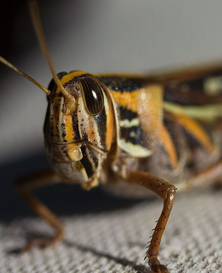 This is an image of a locust (Schistocerca americana).