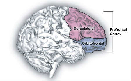 The image shows the location of the prefrontal cortex.