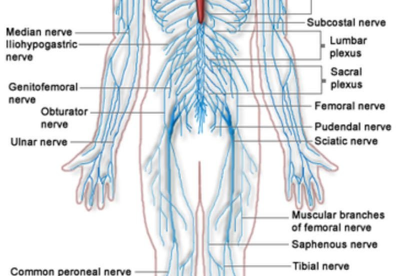 This is a diagram of the nervous system with all of the parts labelled.