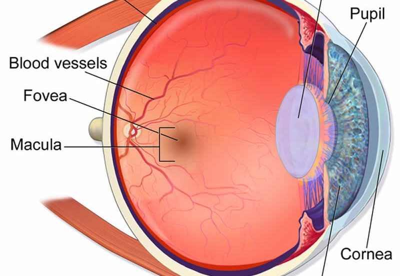 This is an anatomical diagram of an eye.