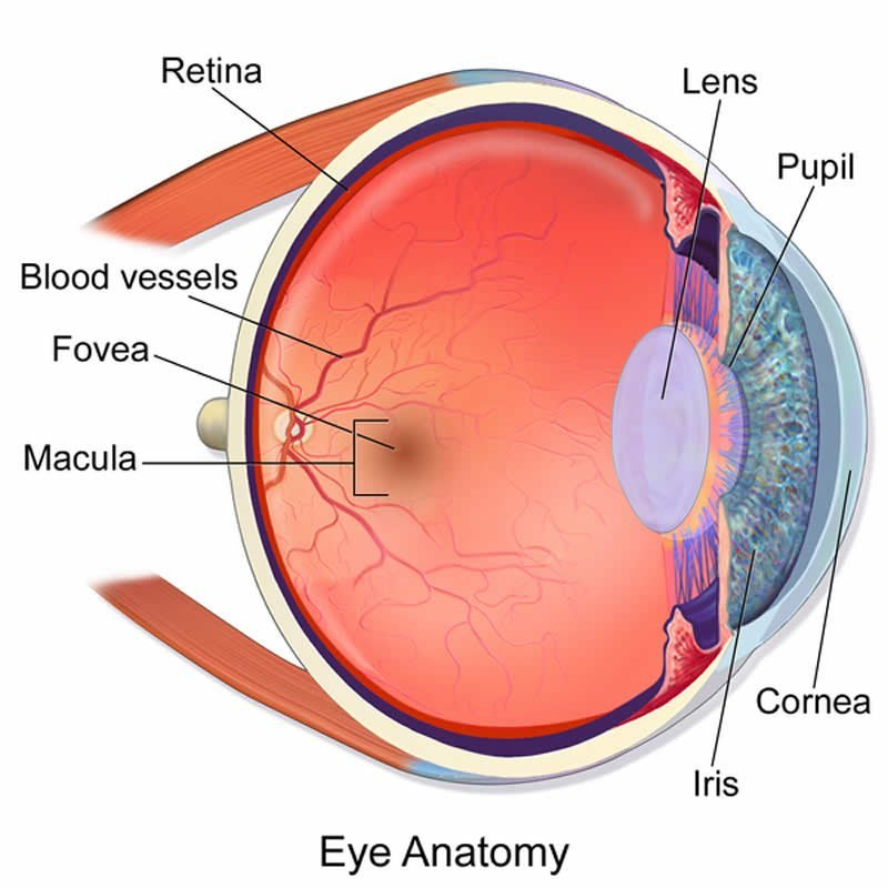 Fovea Centralis Eye Diagram - Wiring Library •