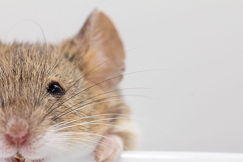 This image is of a cute little mouse.