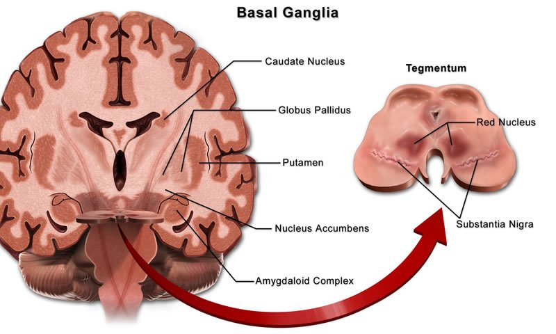 This image shows the basal ganglia with specific areas labeled.