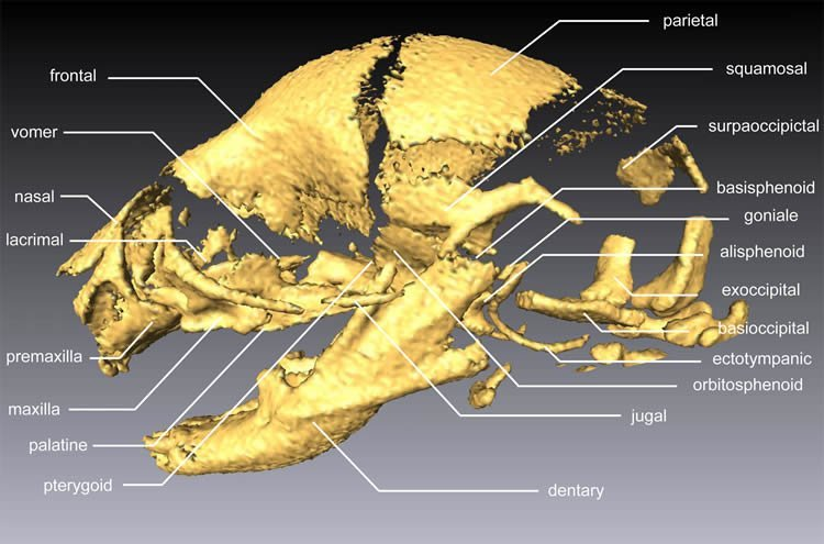The image shows the skull bones of a field mouse.