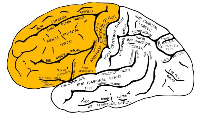 frontal lobe white matter public neuroscience news : frontal lobe diagram - findchart.co