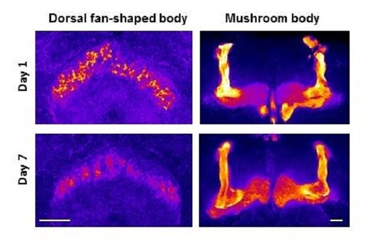 This image shows mushroom bodies in the fly brain. The caption best describes the image.