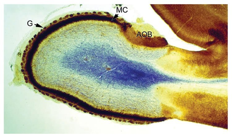 This image shows a section through the olfactory bulb of a 16 days old rat brain.