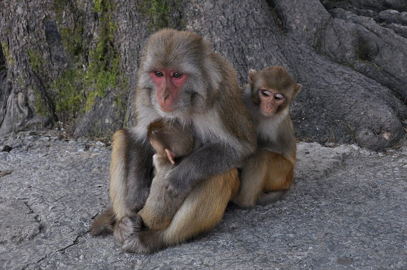 This image shows a Rhesus Macaque with two babies.