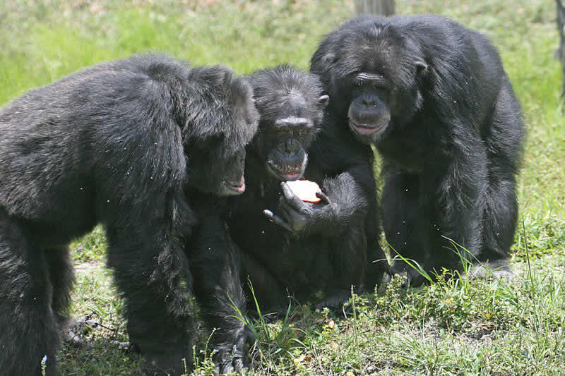 This image shows 3 chimps, one is eating and apple.
