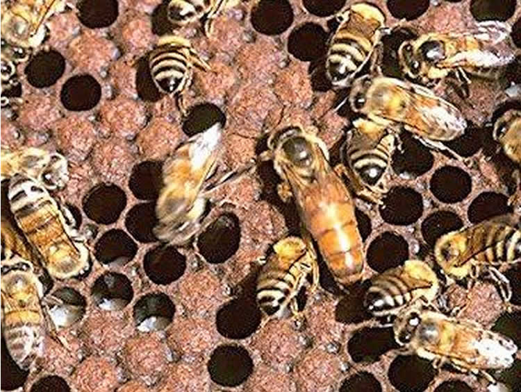 This image shows bees in a hive.