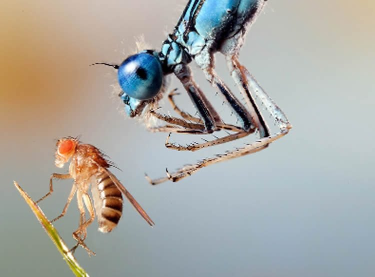 This image shows a fly and a dragonfly.