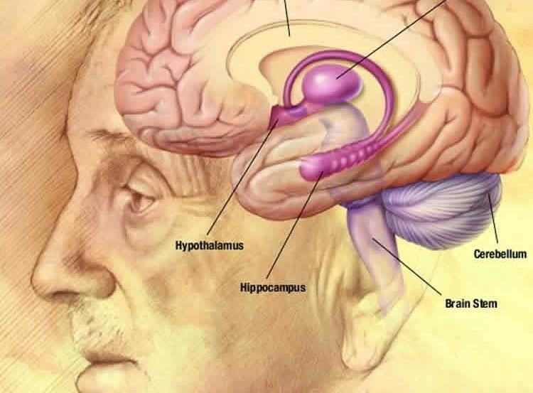 The image shows the hippocampus location in the brain.