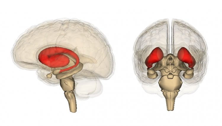 The image shows the location of the striatum in the brain.
