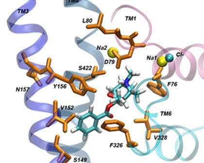 The image shows the binding site for cocaine in the dopamine transporter.
